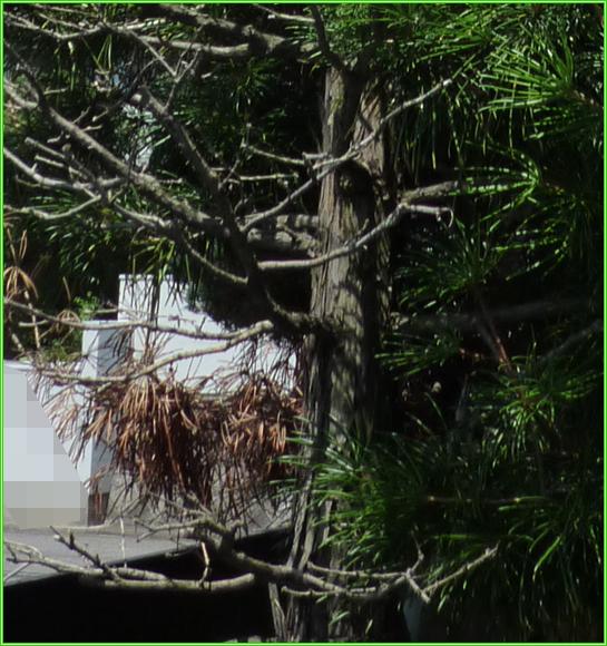 コウヤマキの画像 p1_29